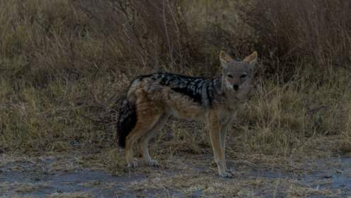 Jackal...only if we could have them as pets.