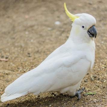 Cockatoo enjoying the breeze