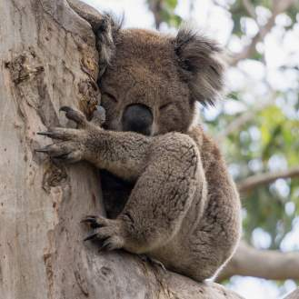 Koalas seriously do love sleep