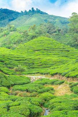 Cameron_Highlands_03202
