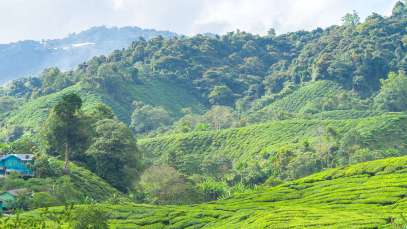Cameron_Highlands_03211