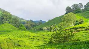 Cameron_Highlands_03215