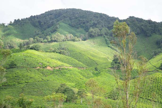 Cameron_Highlands_03225